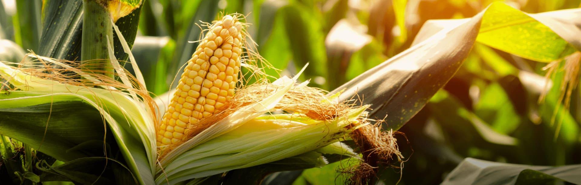 Foto ilustrativa de espigas de milho